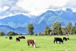 Seasonal Work in New Zealand's Dairy Industry