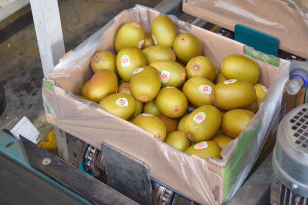 1 Kiwifruit, 2 Kiwifruit... What it's Really Like to Work in a Kiwifruit Packhouse