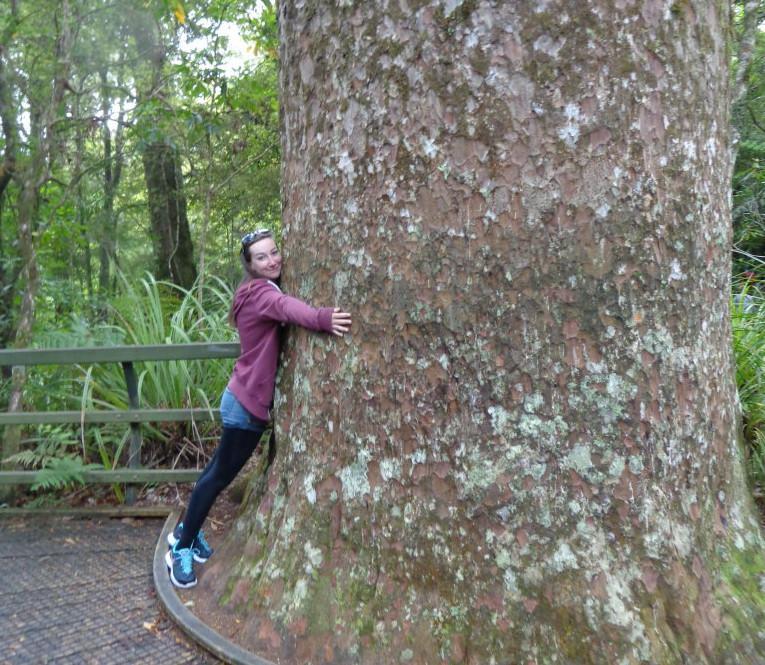 hug kauri tree