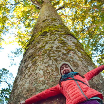 Why is New Zealand so Fascinated with Kauri?