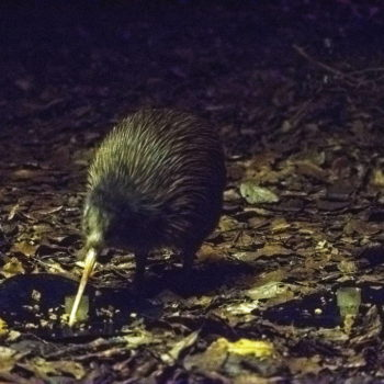 Kiwi Birds, Lizards, Fish and Insects in Whangarei!