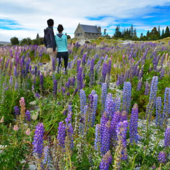 Where to Find Lupins in New Zealand