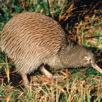 Where to See Kiwi Birds in New Zealand