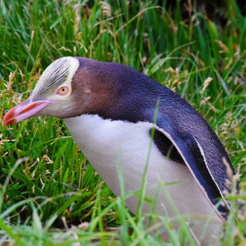 Where to Find Penguins in New Zealand