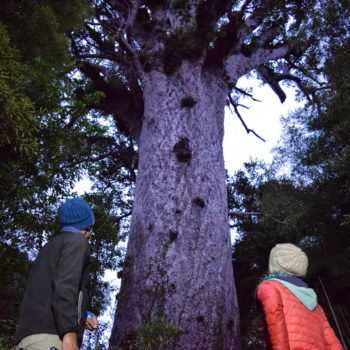 A Twilight Walk with Forest Giants in the Waipoua Forest