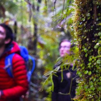 Kauri Craziness in The Coromandel