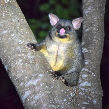 Why New Zealand Hates Possums