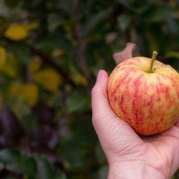 Apple Picking Season in New Zealand