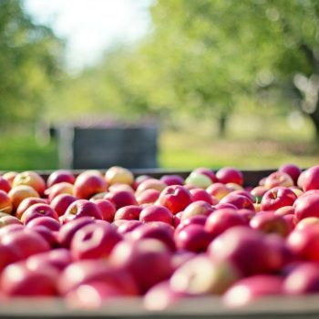 7 Tactics to Fill More Bins in Your Fruit Picking Job