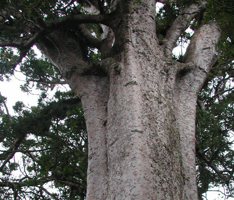 Pseudopanax at English Wikipedia