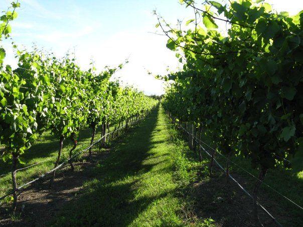 Pinot noir 76 on Wikipedia